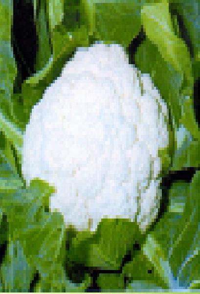 野崎早生カリフラワー 種