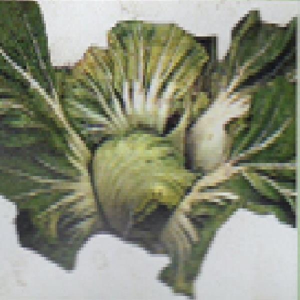 結球高菜 種