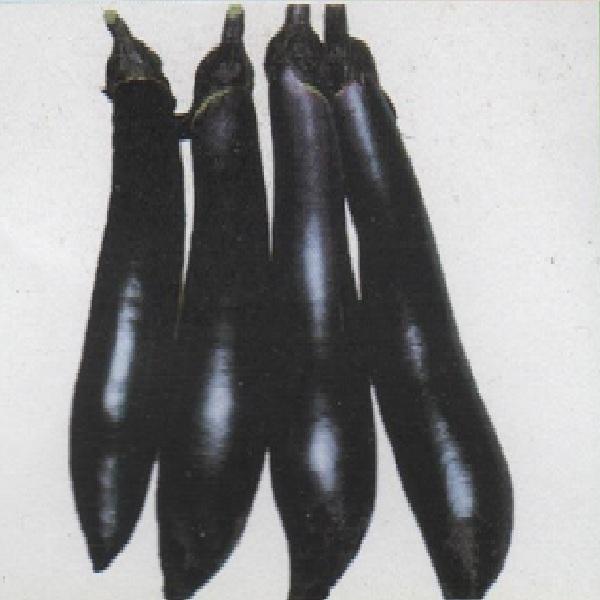 久留米大長茄子 種