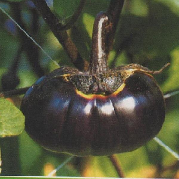 巾着茄子種